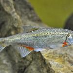 Рыбка - быстрянка