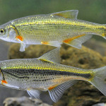 Пара рыбок - быстрянок