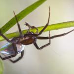 Самец паука серебрянки