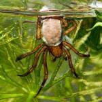 Водяной паук - серебрянка