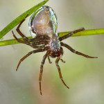 Самка паука серебрянки