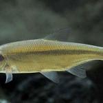 Малек рыбца