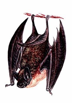 Северный кожанок - Красная книга Ярославской области