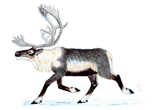 Северный олень - Красная книга Ярославской области