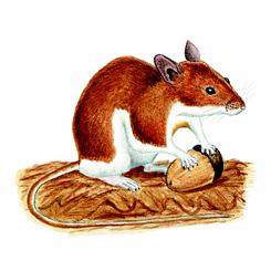 Желтогорлая мышь - Красная книга Ярославской области