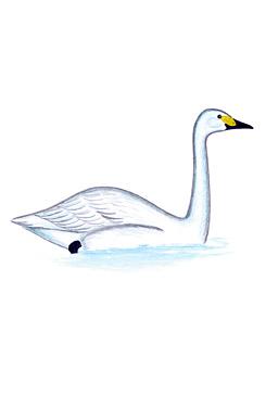 Лебедь-кликун - Красная книга Ярославской области