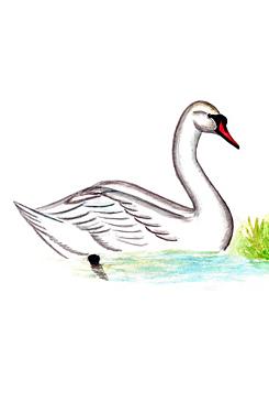 Лебедь-шипун - Красная книга Ярославской области